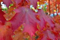 Red maple leave Royalty Free Stock Photos