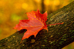 Red maple leave Stock Photos