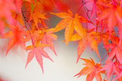 Red maple leave Royalty Free Stock Images