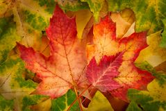 Red maple leaves Royalty Free Stock Image