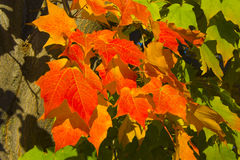 Red Maple Leaves. Close up of red maple leaves in autumn scene Stock Images