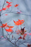Red maple leaves. On blue background royalty free stock images