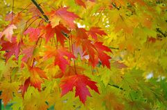 Free Red Maple Leaves Royalty Free Stock Images - 1273009