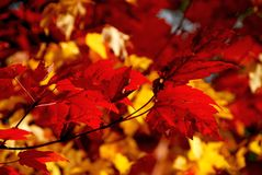 Red maple leaves. Bright red fall maple leaves royalty free stock image