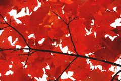 Red maple leaves. Bright red fall maple leaves royalty free stock photography