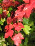 Red maple leaves. Closeup of red maple leaves, typical fall scenery in Canada royalty free stock image