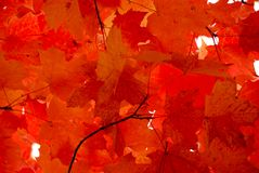 Red maple leaves. Bright red fall maple leaves background royalty free stock photo