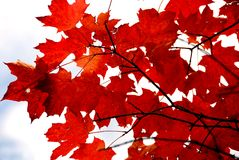 Red maple leaves Royalty Free Stock Photography