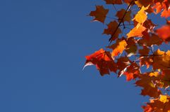 Red Maple Leaves. Under blue autumn sky Stock Photo