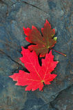 Red Maple Leaves. Two Red Leaves on Rock Royalty Free Stock Photos