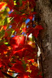 Red Maple Leaves. Red maples leaves in the sun light Stock Photo