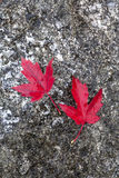 Red maple leaves. Royalty Free Stock Photography