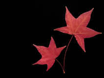 Red maple leaves. On a black background Stock Photos