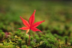 Red Maple leaves. The red maple leave stands on the grass Stock Image