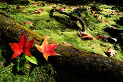 Red maple leaves. On the wood Stock Photography