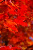Red maple leaves Stock Image