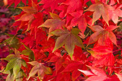 Red maple leaves. Maple or acer leaves in various fall colours Royalty Free Stock Image
