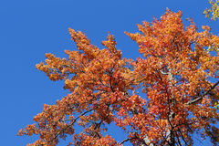 Red maple leaves against blue sky Stock Images