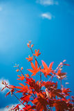 Red maple leaves against the blue sky Royalty Free Stock Photos
