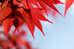 Red maple leaves against  sky Stock Photos