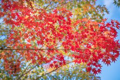 Red maple leaves against the sky in autumn on a branch. At Kiyomizu Garden in Kyoto, at the famous buddhist temple on Mount Otowa, Japan stock photography