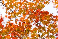Red Maple Leaves against the sky at Koko-en Garden in Himeji. Red Maple Leaves against the sky on a blurred autumn foliage background at Koko-en Garden in Himeji stock images