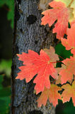 Red Maple Leaves Autumn. Red maple leaves in Autumn next to tree Stock Photography