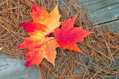 Red maple leaves Stock Photography