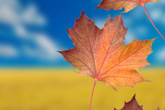 Red Maple Leaves on Autumn Background Stock Images