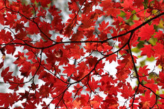 Red maple leaves Stock Images
