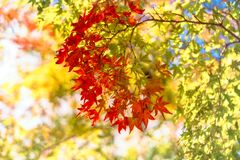 Red maple leaves in autumn on a blurred background. At Kiyomizu Garden in Kyoto, at the famous buddhist temple on Mount Otowa, Japan royalty free stock photo