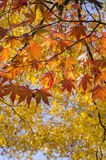 Red Maple Leaves in Autumn Color with yellow maple leaves in the background Stock Photo