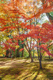 Red Maple leaves in autumn Stock Photography