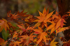 Red Maple leaves in Autumn. Stock Images
