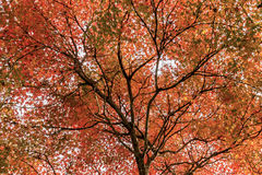 Red maple leaves , Autumn in Japan. Stock Photos