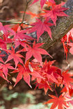 Red Maple leaves, autumn mood Royalty Free Stock Photos