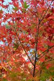 Red Maple Leaves in Autumn. Season with blue sky blurred background, taken from Japan Stock Image