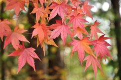 Red maple leaves. In autumn season Stock Photos