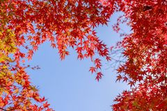 Red maple leaves in autumn season with blu sky stock photography