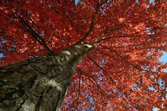 Red Maple Leaves in Autumn Royalty Free Stock Image