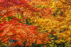 Red maple leaves in autumn Stock Images