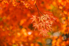 Red maple leaves in autumn Royalty Free Stock Photos