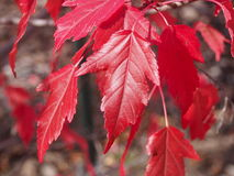 Red Maple Leaves In Autumn Stock Image
