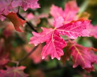 Changing Seasons. Red maple leaves during the autumn in the Wasatch Mountains stock photography