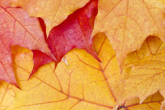 Red maple leaves background Stock Photo