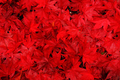 Red Maple Leaves background. Red maple leaves fallen to the ground Stock Photography