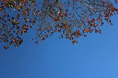 Red maple leaves background in Autumn season. stock photography