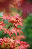 Red maple leaves background Stock Image