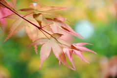 Red maple leaves background Stock Photos