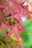Red maple leaves background Royalty Free Stock Images